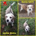 Sunia beagle SATI szuka dobrego domu!